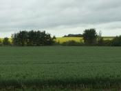 june wheat