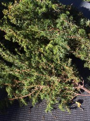 juniper-needles
